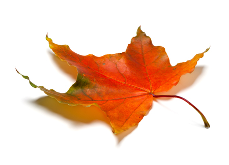 Red autumn maple leaf isolated on white background. Selective focus.