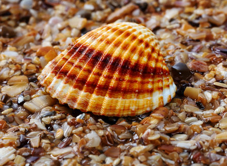Seashell anadara on wet sand at beach. Close-up view. Stock Photo