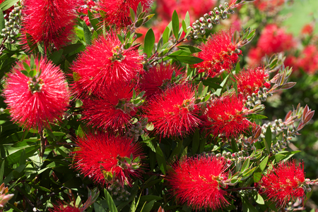 Blossoming flowers of beautiful callistemon at sun spring day. Selective focus.