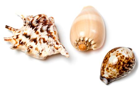 Three exotic seashells isolated on white background