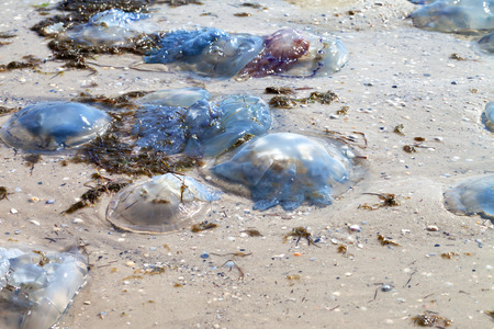 Dead jellyfish (Rhizostoma) washed ashore on sand beach at sun summer day Stock Photo