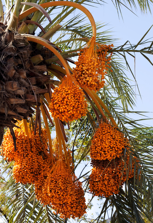 Date palm (Phoenix dactylifera) with bunches of ripening fruit at sun day
