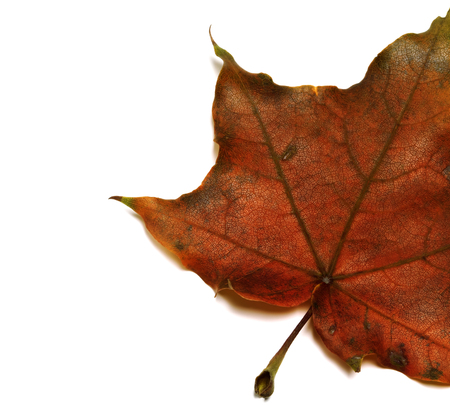 Part of brown dry autumn maple leaf. Isolated on white background with copy space.