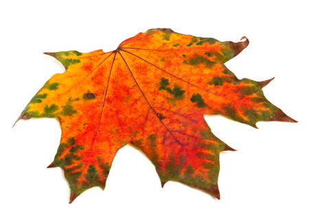 Bright multicolor autumn maple-leaf isolated on white background Stock Photo