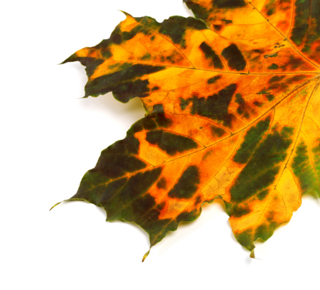 Part of multicolor autumnal maple leaf. Isolated on white background