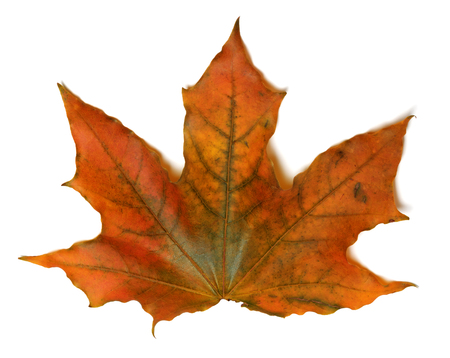 Autumn maple leaf. Isolated on white background. Close-up view. Banco de Imagens