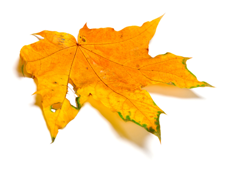 Autumn yellow maple leaf with hole. Isolated on white background. Stock fotó
