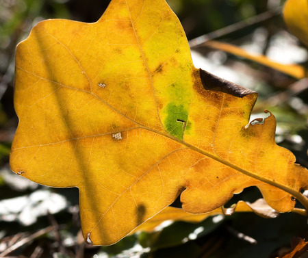 Autumn yellow sunlight oak leaf in forest at sunny day. Close up view. Banco de Imagens