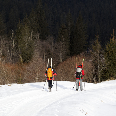 Two hikers with skis on backpack walk along snowy road in fir forest at sunny winter day. Carpathian Mountains, Ukraine.