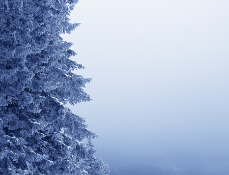 Frozen branches of spruce tree in winter snowy forest and sky in fog with copy space. Reklamní fotografie