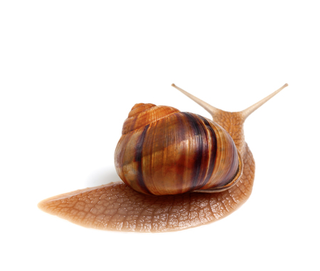 Snail isolated on white background. Back view.