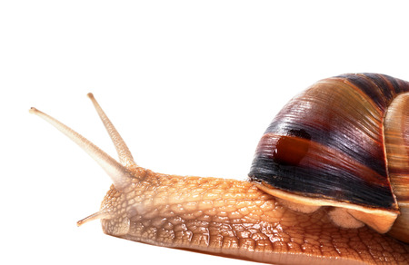 Snail isolated on white background. Close-up view.  Stock Photo