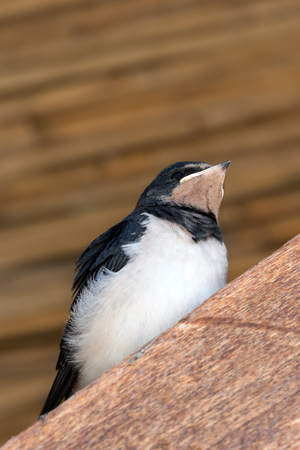 Young bird of swallow sits on wooden beam under roof. Close up view.