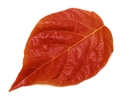 Autumn red leaf isolated on white background. Close-up view.