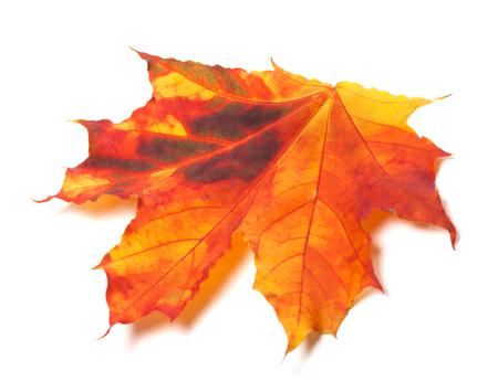 Herbst vergilbtes Ahornblatt. Isoliert auf weißem Hintergrund. Nahaufnahme.