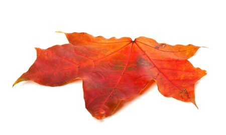 Red autumn maple leaf isolated on white background. Close-up view.