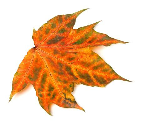 Multicolor autumnal maple-leaf isolated on white background. Close-up view.