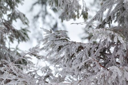Frosty branches of spruce in winter forest at cold evening after snowfall Stock Photo