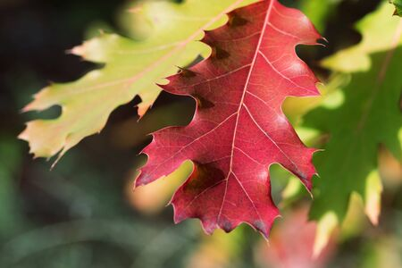Branches of oak tree (Quercus rubra) with autumn red sunlit leaves in forest at sun day