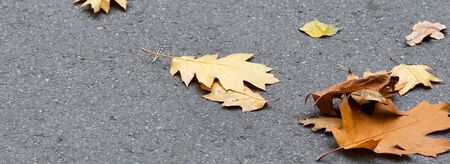 Autumn yellow dry oak leaves on asphalt. Panoramic view.