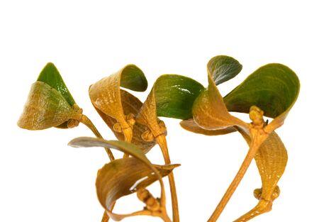 Wet greenish-yellow branch of european mistletoe Viscum album with foliage. Isolated on white background.