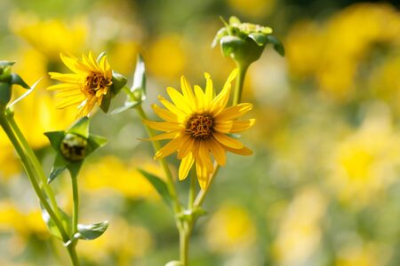 Blooming yellow flowers of sunflower aster family on meadow at sunny summer day