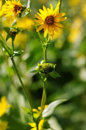 Blooming yellow flowers of sunflower aster family on green meadow at sunny summer day. Selective focus.