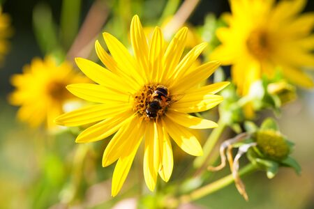 Bee on blooming yellow flowers of sunflower aster family at sunny summer day