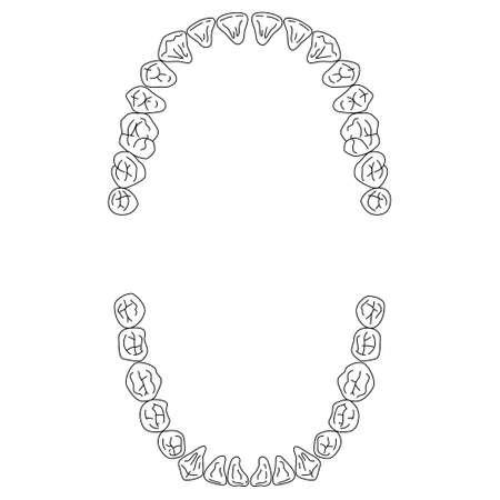 ヒトの歯のイラスト