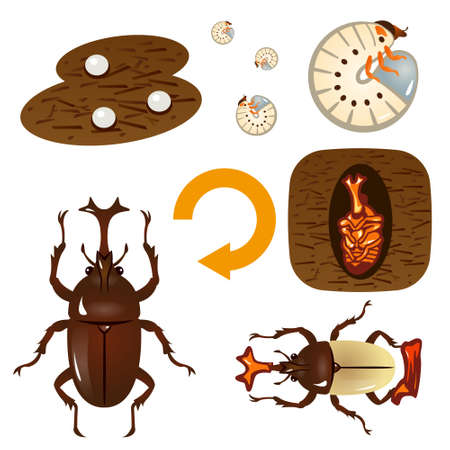 Wachstumszyklus des Käfers