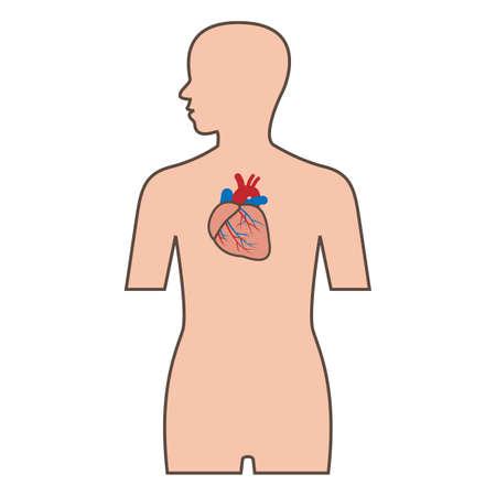 vein valve: Illustration of cardiovascular system Illustration