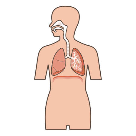 exhale: Illustration of Respiratory system
