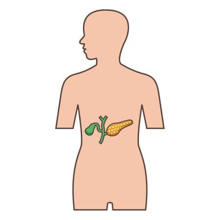 膵臓や胆嚢のイラスト