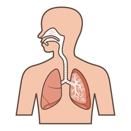 呼吸器系のイラスト  イラスト・ベクター素材