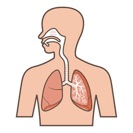 Illustratie van het ademhalingsstelsel Vector Illustratie