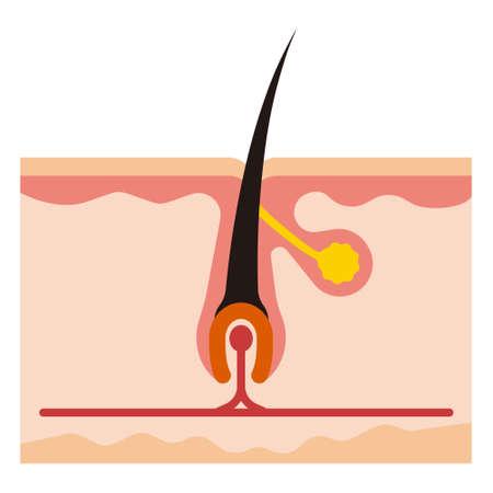 papilla: Illustration of the root
