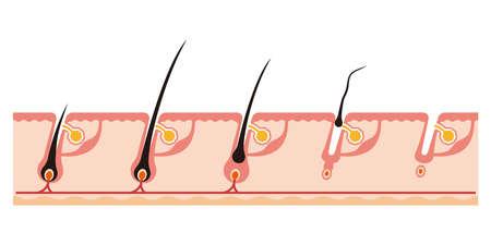 髪のサイクルの図  イラスト・ベクター素材