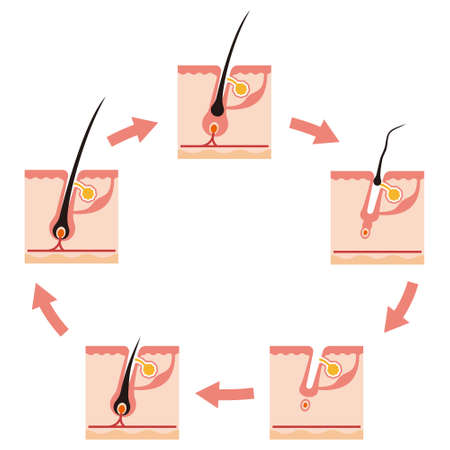 subcutaneous: Illustration of a hair cycle