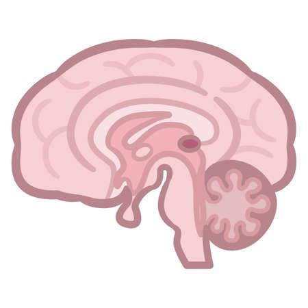 Sección transversal del cerebro humano. Ilustración vectorial.
