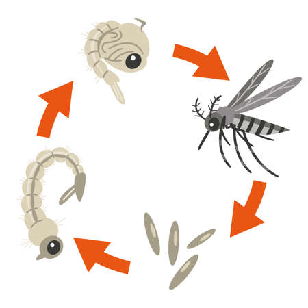 Illustration showing the life cycle of a mosquito