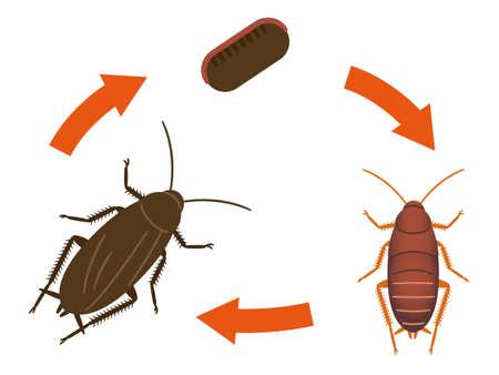 Diagram showing life cycle of cockroach illustration Illusztráció