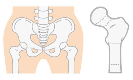 Flat illustration of the pelvis Illustration