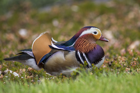Couple of mandarin duck walking in the bushes Stock Photo