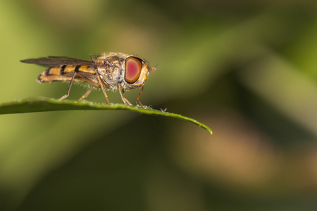 Yellow gold flying hoverfly flying in the air Stock Photo