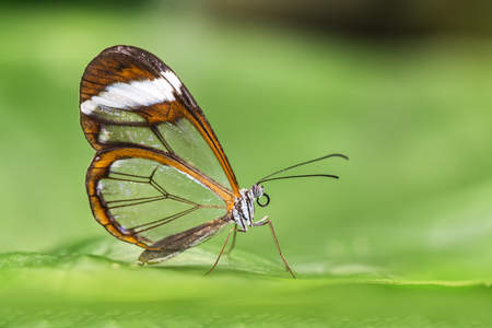 Greta oto, transparent winged butterfly resting on a green leaf disposing her eggs in a butterflies farm