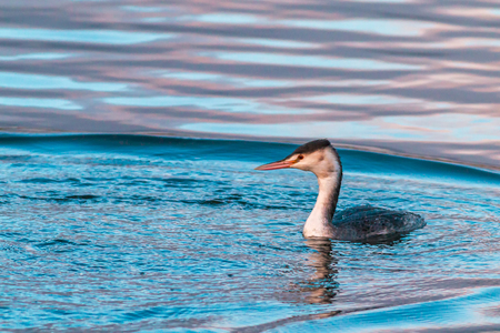 Great crested grebe bird swimming on a calm water under a cold weather Stock Photo