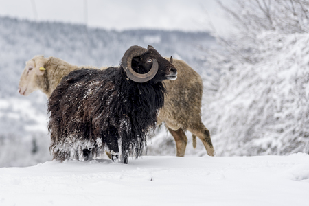 Brown horned sheep walking on the snow looking for fresh grass to eat in the mountain