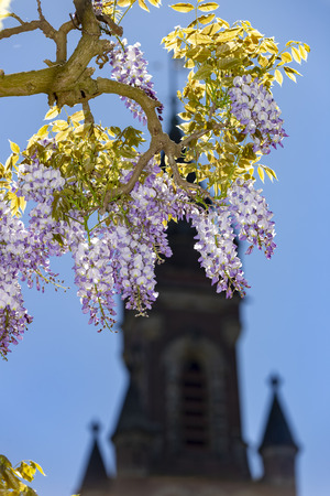 Branch of wisteria blossom flowers blooming in the garden of the peace palace and under a blue vibrant spring sky of The Hague, Netherlands