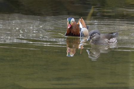 Couple of Mandarin ducks swimming and matting on the pond reflected on the water at Spring time