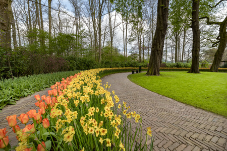 Yellow Daffodil and orange tulip blossom blooming under a very well maintained garden in spring time